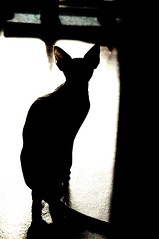 backlit (Vina the Great) Tags: cat highcontrast cropped backlit sphynx hairless seethroughears