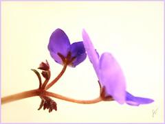 Violets ( Graa Vargas ) Tags: flower purple violet bud excellence saintpauliaionantha graavargas violetaafricana 2006graavargasallrightsreserved 80713250711