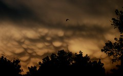 Bird, Storm Clouds (JaredKS) Tags: trees sky cloud storm bird weather clouds kansas thunderstorm storms thunder severe thunderstorms severeweather cumulonimbus mammatus cumulonimbusmammatus kansasthunderstorm kansasthunderstorms