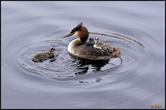 Transportation - 8035 (Edgar Thissen) Tags: bird water birds animal grebe fuut greatcrestedgrebe pgphotography edgarthissen specnature animalkingdomelite akassignmentserene fowlfeatheredfriends