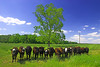 The difference between right and wrong (beebo wallace) Tags: blue sky green grass clouds rural cow nc cows farm farming northcarolina pittcounty canonefs1855mmf3556 shalliputitontheunderhillaccountseñor pittcountync