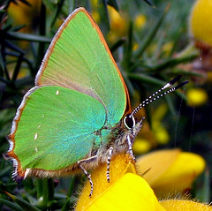 Green Hairstreak - Callophrys rubi (hippobosca) Tags: green butterfly insect wings web butterflies insects hampshire lepidoptera lymington gorse greenhairstreak hairsteak callophrysrubi