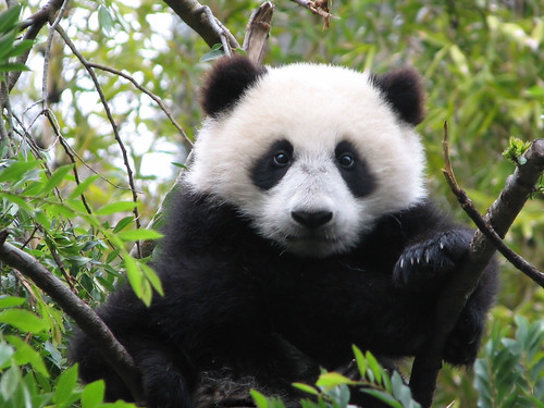 This is 9 1/2 month old baby panda Su Lin today