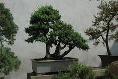 Gnarly PenJing (becklectic) Tags: china trees asia suzhou 2006 bonsai prc jiangsu penjing humbleadministratorsgarden dsc0187