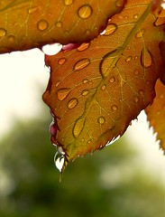 Red Dew Leaf (dee_r) Tags: red reflection ilovenature droplets leaf lovephotography abigfave