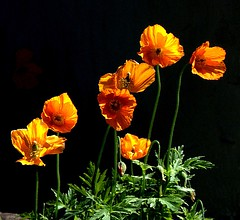 Wild Welsh Poppies (algo) Tags: wild garden photography topf50 quality topv1111 topv999 blackground poppy topv777 algo topv3333 topf100 100f mireasrealm 60521 gtaggroup goddaym1 colorphotoaward saariysqualitypictures