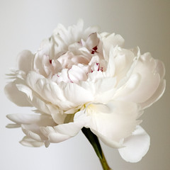 Peony (bentilden) Tags: white flower color pentax bokeh peony whitebackground istdl