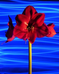 Light Painting #53 (Amaryllis) (citybumpkin) Tags: blue red lightpainting flower amaryllis citybumpkin