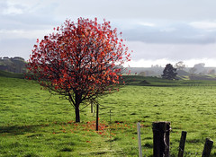 one red tree