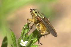 """Golden Dung Fly (Scathophaga stercoraria) • <a style=""""font-size:0.8em;"""" href=""""http://www.flickr.com/photos/57024565@N00/155684795/"""" target=""""_blank"""">View on Flickr</a>"""