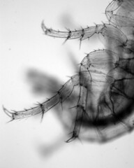 scud legs (Chosetec) Tags: shrimp micro crustacean microscope arthropod scud amphipod
