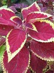 Coleus 'Pat Martin' (Mature Plant)