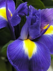 iris (Gerard Bijvank) Tags: iris 1on1 blueandyellow fantasticflowers olympusc765uz 2for2 calendarshot gerardbadenglish