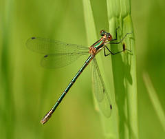 Spreadwing (nature55) Tags: nature insect ilovenature outdoors spreadwing magicdonkey apexmacro 412explorepages