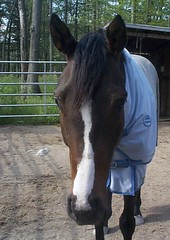 Sucha cutie, aren't I?? Now . . . GIVE ME PEPPERMINTS!! (kamelotsbigfan) Tags: me face tag3 taggedout angel digital bay tag2 tag1 rocky lds thoroughbred tb raynham gelding