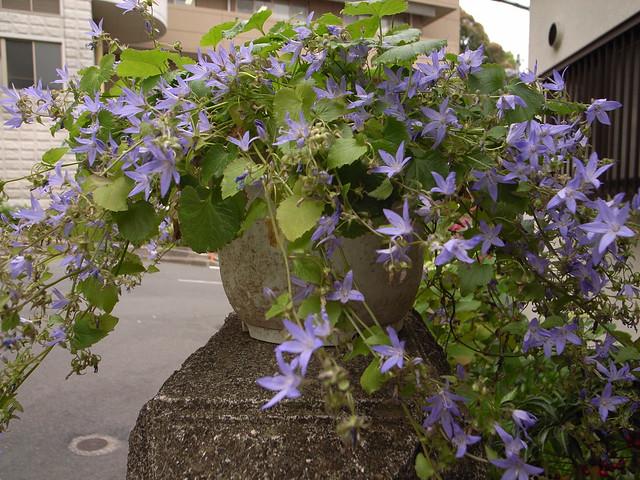 Foto: Klokjesbloem 'Hirsch Blue'