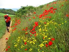 hay un camino... (Ns da Montanha) Tags: santiago espaa trekking spain camino backpacking caminhodesantiago poppies pilgrim caminodesantiago peregrino papoulas stjamesway ireneschmidt