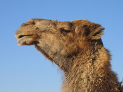 Camel (Victoria Reay) Tags: africa tunisia camels
