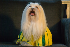 we are all football (soccer) nuts! meet my babe, the lhasa apso... (bocavermelha-l.b.) Tags: macho lhasaapso worldcup2006 copadomundo vegetarian–apso copadomundo2006 myfriendthelhasaapso malecheerleader shootingwithd200