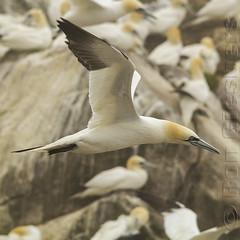 Gannet Airport (Ron Giesbers) Tags: gannet janvangent saltees wexford salteesislands bird seabird ireland nature yellow green