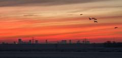 Ready for landing (Jorden Esser) Tags: middendelfland rotterdam geese orangesky skyline sundawn sunset nederlandvandaag