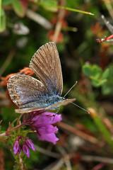 Female Silver Studded Blue (true macro) (Roy Lowry) Tags: plebejusargus silverstuddedblue preesheath