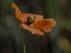 (s.lang534) Tags: rot nature minolta sommer natur blumen saarland frhling blten mohn sommerwiese wildblume nahaufnahmen schmelz prims oldlens minoltalens blumenundpflanzen analoglens minoltarokkormd75200f45