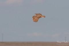 Adult Burrowing Owl in flight