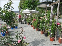 La journée de la rose dans le jardin de l'horticulture de ma ville du Mans (Figareine- Michelle) Tags: roses mans le rosiers rosiéristes