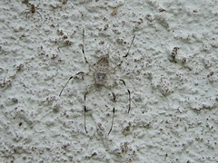 Jianfengling/ - Herennia sp. DSCN9275 (Petr Novk ()) Tags: china male nature animal wall female spider asia wildlife asie  hainan  invertebrate   sexualdimorphism  pavouk nephilidae na herennia jianfengling