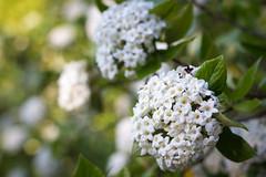 Spring in summer (Ariadni's Thread) Tags: summer flower nature denmark spring blossom nordic latespring parkinthecity ariadnisthread