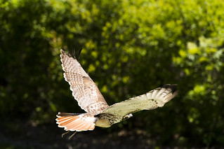 Red-Tailed Hawk 07
