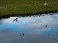 Loonatic take-off (Jan Egil Kristiansen) Tags: reflection water splash faroeislands loon lom redthroatedloon gaviastellata img9892 vannspeil nlsoy lmur smlom