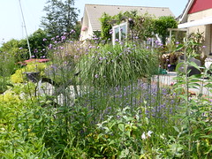 Flowerbeds and garden (Alta alatis patent) Tags: flowers garden flowerbed borders verbena alchemillamollis ladysmantle