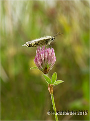 Photo of Marbled White Butterfly