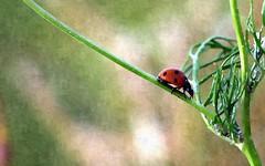 Ladybird (David Ward4) Tags: red bird lady spots ladybird stylize kirkbyinashfield coxmoor pixlr