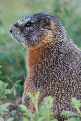 Yellow-Bellied Marmot (N_A_Waters) Tags: nature animal canon mammal wildlife yellowstone marmot mammals yellowbellied 400mm