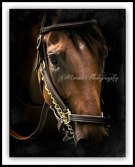 American Pharoah (EASY GOER) Tags: horses horse ny newyork sports face race canon star track champion running racing special 5d athletes races runner vignette 56 thoroughbred equine triplecrown belmontpark 400mm markiii baffert zayat
