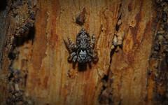 Tullera bark jumper (dustaway) Tags: tullera northernrivers nsw australia nature australianspiders arachnida araneomorphae araneae treebark salticidae jotus jumpingspiders euophryinae tullerapark spinne