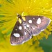 White Spotted Sable Moth