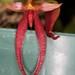 Bulbophyllum levanae – Merle Robboy