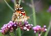 Painted Lady /  Distelvlinder (Rick & Bart) Tags: macro nature canon butterfly garden insect natuur tuin vlinder paintedlady smörgåsbord distelvlinder thebestofday gününeniyisi eos70d