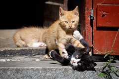 Kittens (Stig Nygaard) Tags: pet cats cat denmark kitten kittens dk creativecommons 7d meow dnemark danmark miau mew miaw dnk 2015 nordsjlland miav 7d2 grsted kattekillinger regionhovedstaden kattekilling photobystignygaard mjav prup 7dii canoneos7dmarkii 7dmarkii canonef70300mmf456lisusm