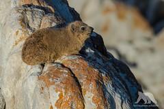 Sunbath (fascinationwildlife) Tags: animal mammal rock dassie klippschliefer wild wildlife nature natur coast south africa südafrika evening sun bath cute de keelders cape southern afrika