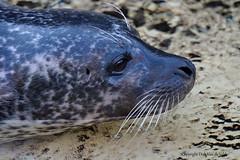 Harbor seal (DirkVandeVelde back) Tags: europa europ europe belgie belgium belgica belgique biologie buiten antwerpen anvers antwerp animalia animal carnivora roofdieren mammalia zoogdieren zoo zee zeehond seal phoque sony chordata outdoor fauna