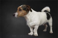 Flivo (Marijke M2011) Tags: dog dogportrait terrier jackrussellterrier animal pet petportrait cute love huisdier hond hondenportret indoor studio studiolightning friend