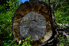 This tree stood in Fish Valley for over 235 years (speedcenter2001) Tags: wilderness anseladamswilderness california sierranevada sierra sierraphile highsierra mountains outdoor hiking backpacking backcountry nikon20mmf35ai