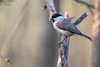 Marsh Tit (Gareth Keevil) Tags: cold detail feathered garethkeevil gloucestershire lbj marshtit nikon500mm nikond810 rspb wild winter