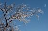 freezing rain magic (marianna_a.) Tags: p3110740 freezing rain ice tree glitter marianna armata