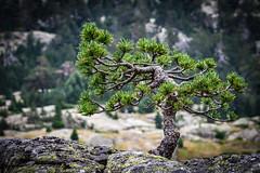 Bonsaï? (Olivier Dégun) Tags: pyrénnées france montagne arbre raw rocher cauterets canon eos 700d 1585isusm montagnes paysage lightroom
